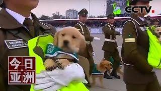 [今日亚洲]速览 可爱!智利盛大阅兵式 警犬抢镜成红角| CCTV中文国际