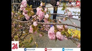 Ngắm hoa anh đào Nhật Bản giữa lòng Hà Nội | VTV24