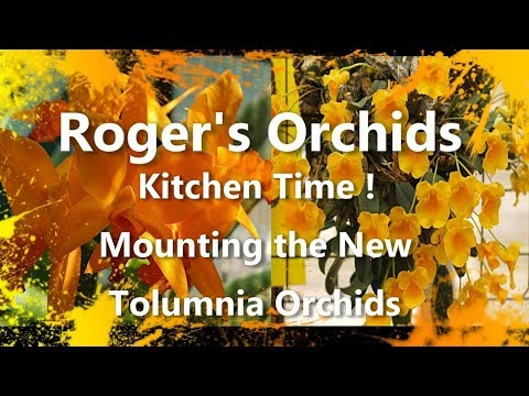 Kitchen Time - Mounting the New Tolumnia Orchids