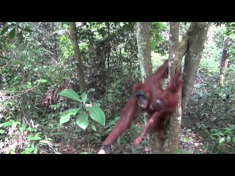 The Orangutans of Bukit Lawang (Sumatra - Indonesia)