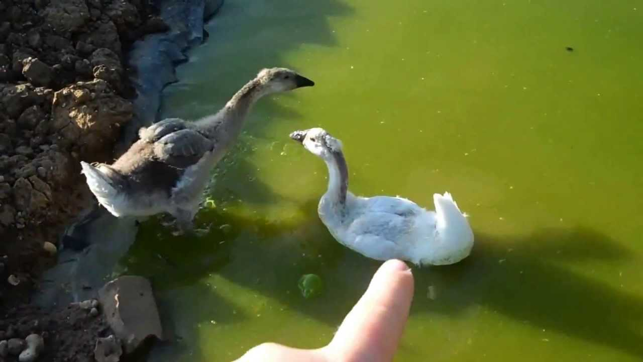 African goose vs chinese goose - photo#14