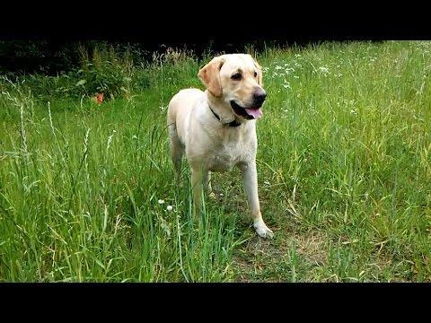 Labrador/Retriever age 2 years - TOM JONES - Green green grass of home (guitar)