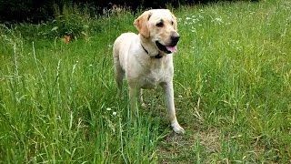 Labrador/retriever Age 2 Years - Green Green Grass Of Home