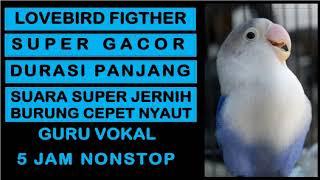 Download lagu Suara Burung Lovebird Fighter Gacor Durasi Panjang | Masteran burung prestasi