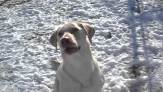 Oki Lab Rescue Guest At Pet City Resort & Spa West Chester Ohio Cincinnati, Ohio 45011