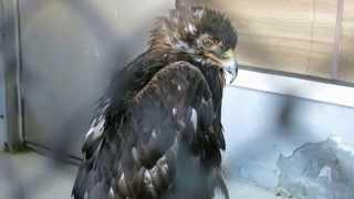 日本最高齢ニホンイヌワシ 鳴き声  Japanese golden eagle japan oldest cry