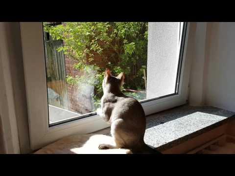 Singapura cat is hunting funny cat - SingaLove