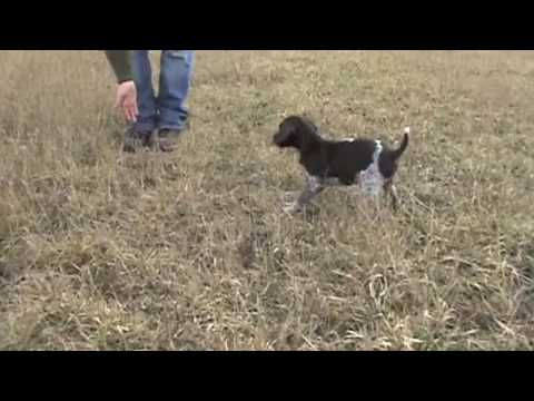 Free Hunting Dog Training Videos - Clicker Training with your new Puppy