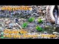 Ooh Seperti Ini  Murai Kacer Cucak Ijo Di Habitat Hutan Liar  Mp3 - Mp4 Download