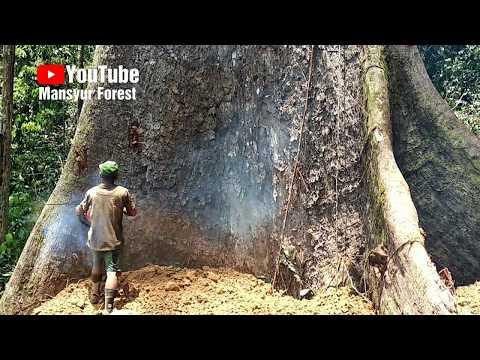 Sebelum Pohon Raksasa Ini Ditebang, Ada Sosok-Sosok Bergelantungan Di Akar