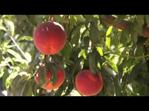 Northern California Peach Farm