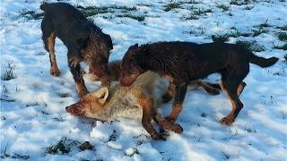 Охота с ягдтерьером, 3 лисы в одной норе