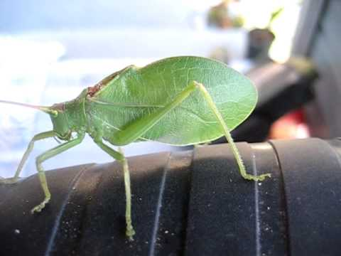 Katydid Insect Pictures