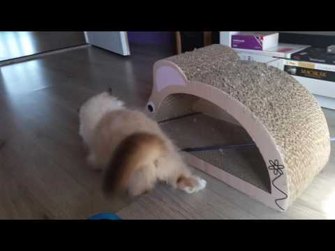 Birman kitten plays with mouse