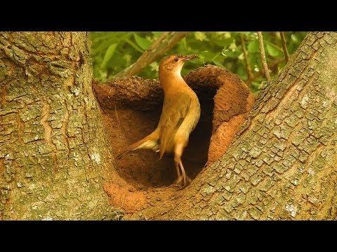 Constancy is the secret of success, Bird Engineering, Rufous Hornero, bird building its nest,