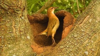 vuclip Constancy is the secret of success, Bird Engineering, Rufous Hornero, bird building its nest,