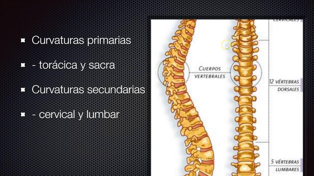 embriologia vertebras - YouTube