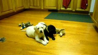 Loganwood Labs Labrador Retrievers Puppies Playing White Labs Chocolate Labs Black Labs
