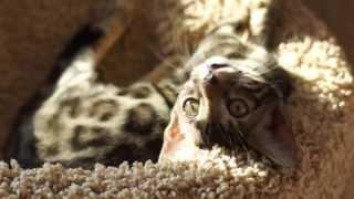 Бенгальские котята питомника Zoo Cat RU. Зоопарк кошек в Туле.