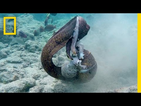 Eel vs. Octopus, Then Eel vs. Cameraman | National Geographi