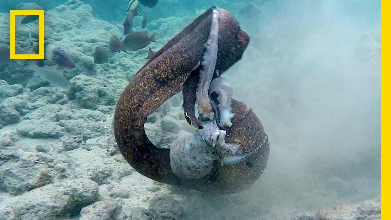 Eel Pictures | Eel Vs Octopus Then Eel Vs Cameraman National Geographic Youtube