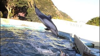 Pacific White-sided Dolphins Jumping (Taiji Whale Museum 1/27/18)