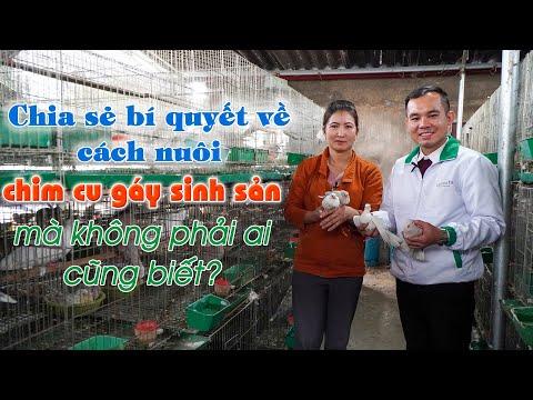 Kỹ thuật nuôi chim cu gáy sinh sản || Chia sẻ bí quyết nuôi chim cu gáy Pháp thu 30 triệu/tháng