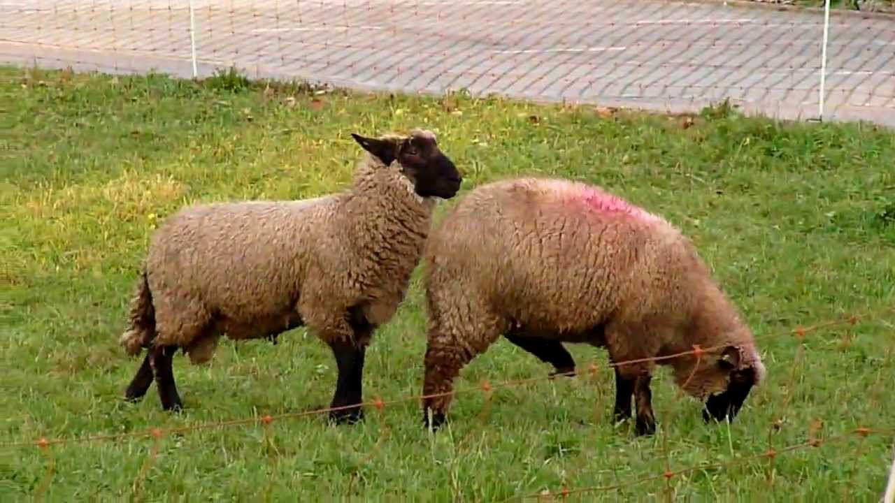 sheep sex tube