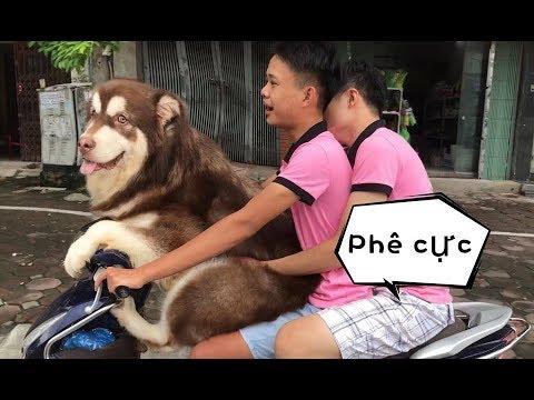 Chó Mật ngồi xe máy đi như người  - Dog ride motorcycles as People
