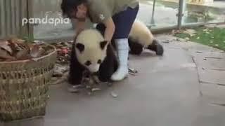 Смешное видео про панд, смотреть всем !