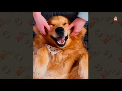 Funny Golden Retriever Videos 2018 # 4
