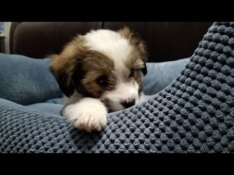 Shih Tzu And Sheltie Mix Rescue Puppy Emma