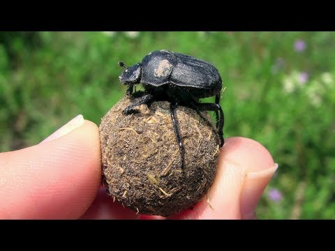 Science in Action: Dung Beetles | California Academy of Sciences