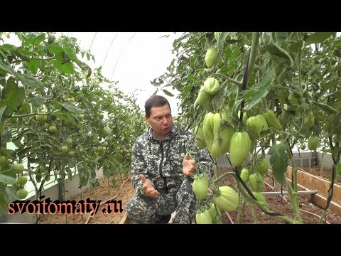 Как избавиться от вершинной гнили у томатов | избавиться | вершинной | томатов | гнили | как | от | у