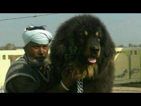 Best quality gaddi dogs in Patiala dog show