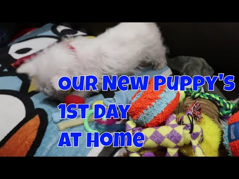 We Got A New Puppy - West Highland White Terrier or Westie - First Day At Home