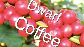 Dwarf Coffee Tree In A Pot & Stays Under 1.5m
