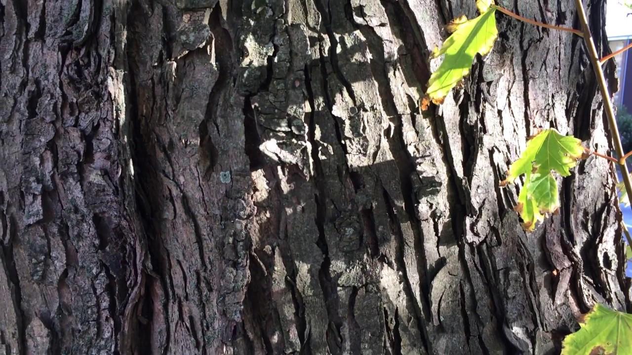 Silver Maple Acer Saccharinum Bark Close Up November 2017