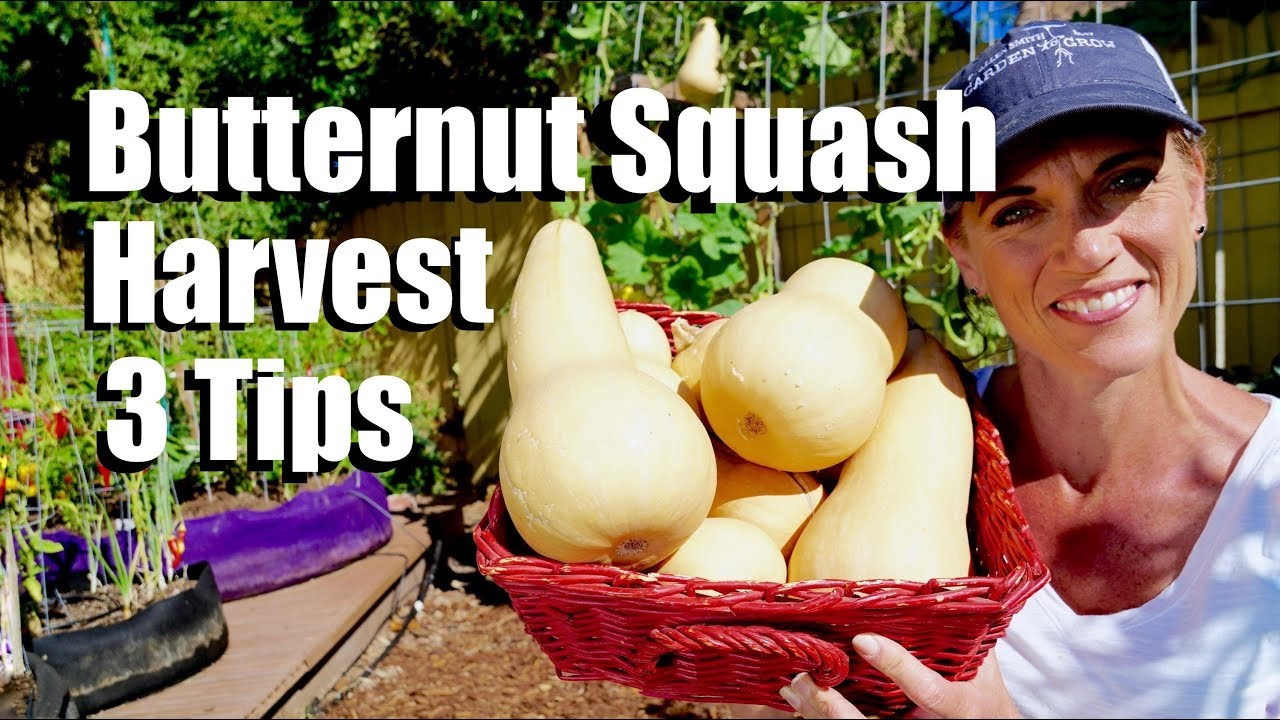 How and When to Harvest Butternut Squash - 3 Tips