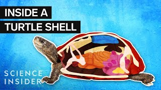 What's Inside A Turtle Shell
