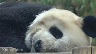 2020/2/27 (3) スヤスヤ×3のシャンシャンご一家 Giant Panda Xiang Xiang