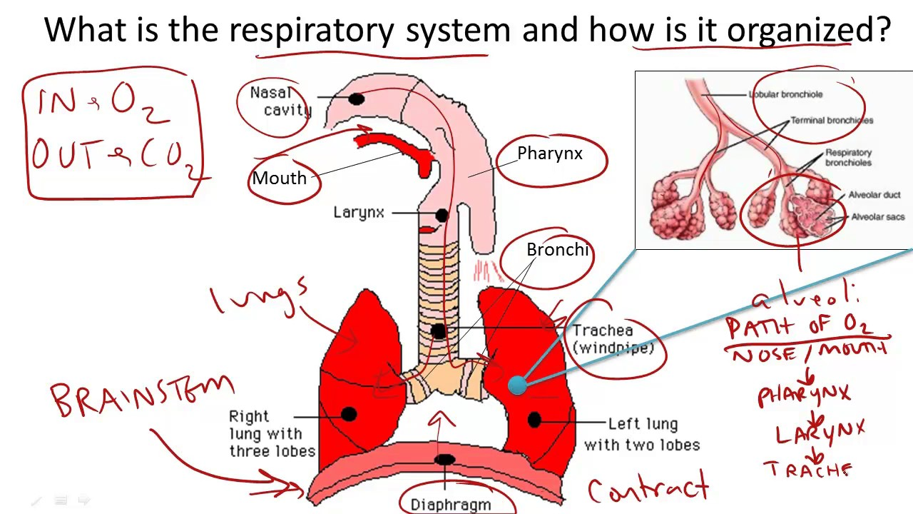 Respiratory System Structure And Function Youtube