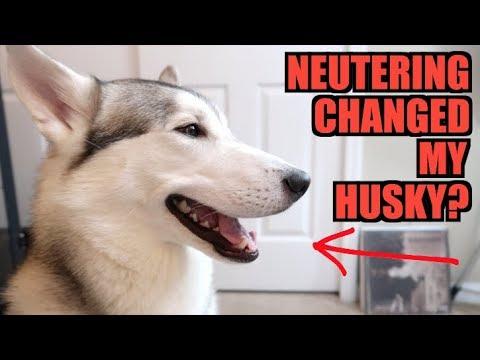 Did Neutering Change My Siberian Husky Forever?
