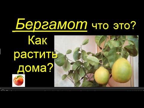 Бергамот Уход  Citrus Bergamia Как посадить Лимоны Цитрусы Дома