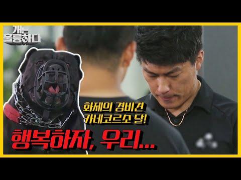 충성스러운 개의 충격적인 변화, 카네코르소 달이와 보호자의 안타까운 속사정 | 개는 훌륭하다/Dogs Are Incredible] | KBS 210628 방송