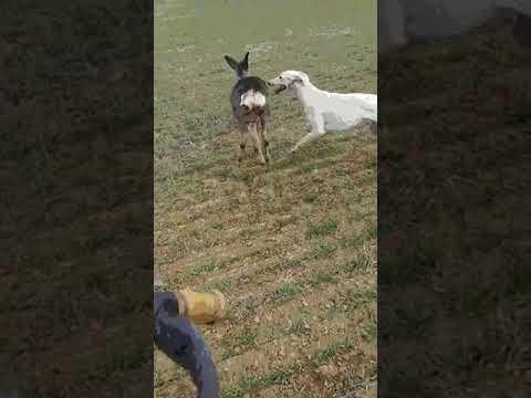 Investigado por caza furtiva tras colgar un vídeo en el que su galgo ataca una corza en  Valladolid