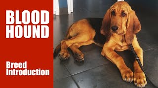 Bloodhound: Dog Breed Essential Guide