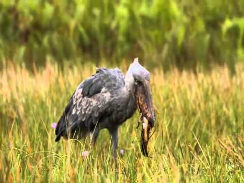 eos 7d with ef 100400l endangered shoebill stork