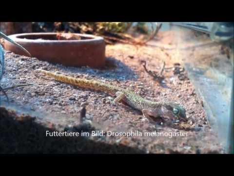 Tropiocolotes tripolitanus (Zwergwüstengecko) ...unter Beobachtung