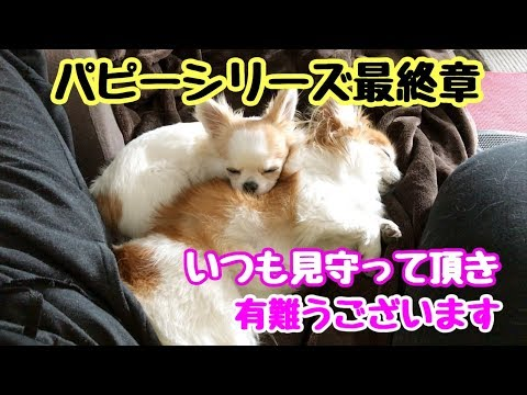 【チワワお迎えシリーズ】Vol.9 ずっと吠えてばかりだったシニア犬が本当に頑張って子犬を受け入れてくれました